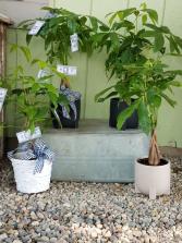 Money Tree Green Plant