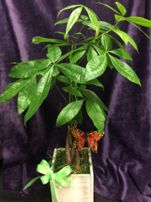 Money Tree Houseplant in Prescott, AZ | PRESCOTT FLOWER SHOP