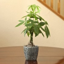 Money Tree in Swirl Container Indoor Plant