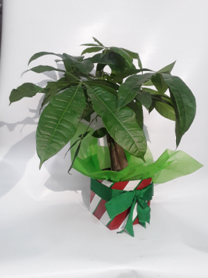 Money tree plant christmas gift  in Fairbanks, AK | A BLOOMING ROSE FLORAL & GIFT