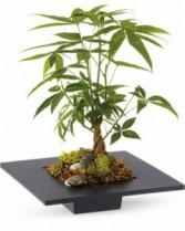 Money Tree Plant EF47
