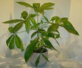 MONEY TREE PLANTER Indoor Plants