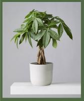 Money Tree Prefers bright, indirect light