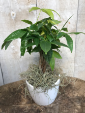 Money Tree with Braided Stem Plant