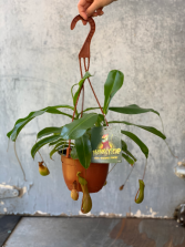 Monkey Cup plant