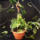 Monstera Adansonii Hanging Basket Plant