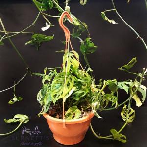Monstera Adansonii Hanging Basket Plant in Kelowna, BC   Burnett's Florist