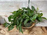 Monstera Adansonii plant Hanging Basket