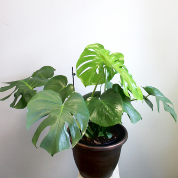 """Monstera Deliciosa 6"""" or 8"""" *Local Delivery or Pick-Up Only*"""