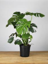 Monstera Floor plant
