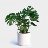 Monstera Plant Tropical Plant