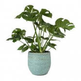 MONSTERA POTTED PLANT