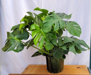 Monstera Split Leaf Philodendron Plant