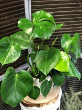 Gorgeous Monstera Plant