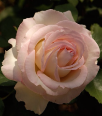 Moonstone 5 gallon - Hybrid Tea