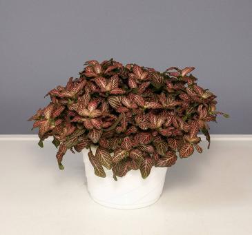 Mosaic - Pink Veined Plant