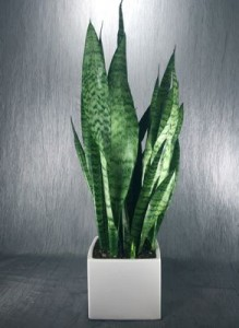 MOTHER-IN-LAW'S TONGUE - Sansevieria plant