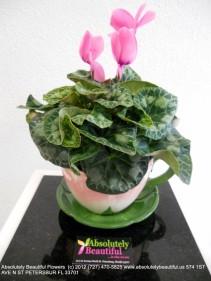 A BEAUTIFUL CYCLAMEN Tea Keep Sake with a Lovely Cyclamen Plant