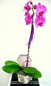 Le Papillion  Purple Orchid Phalaenopsis