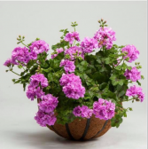 Geranium Basket Outdoor hanging baskets