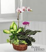 Designer Choice Mothers Day Orchid Plant Special
