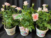 Mother's Day Special  #1- Rosebush in Pot