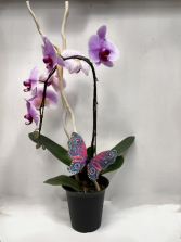 Mother's Day special Phalaenopsis Orchid Plant