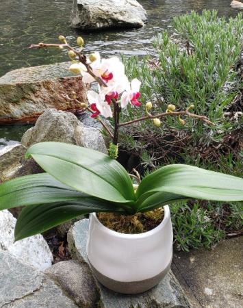 Multi Branch Mini  Orchid plant