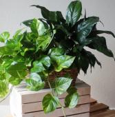 Multi  plant basket Plants