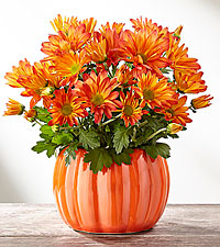Mum Marvel Harvest Plant Fall Plants
