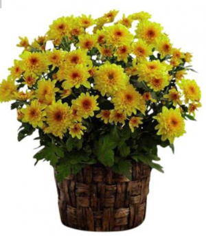Mum plant Colors will vary in Elyria, OH   PUFFER'S FLORAL SHOPPE, INC.