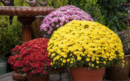 Mum plant lical delivery. Colors will vary