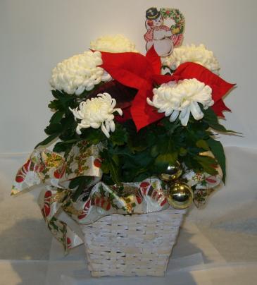 MUMSETTIA Blooming Plant