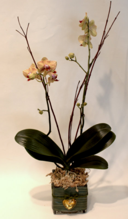 My Orchids Desire Plant