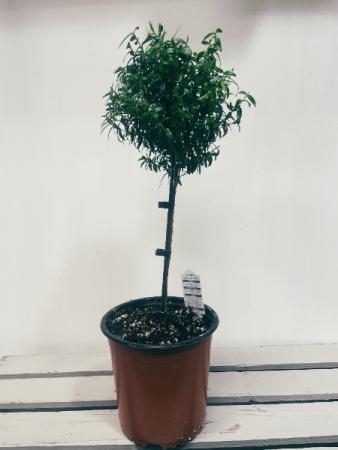 Myrtle Topiary Plant