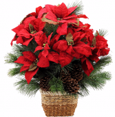 Natural Poinsettia Plant