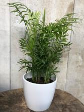 "Neantha Bella Parlour Palm 8"" diameter Plant in pot"