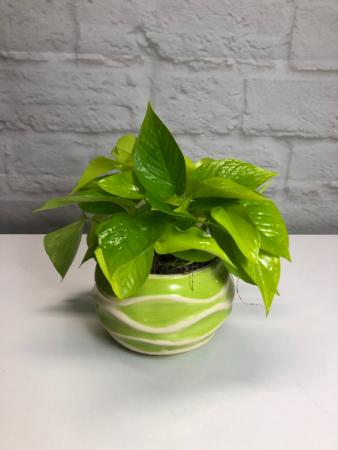 Neon Pothos in Groovy Green Pot