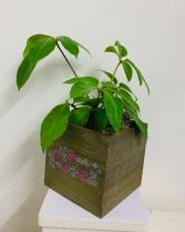Neon schefflera in wooden box Plant