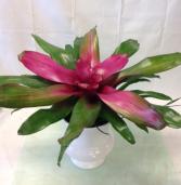 Neoregelia Bromeliad Donna Green plant
