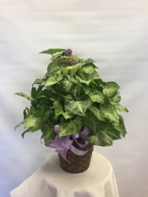 Nephthytis Pole Ivy Single Plant Basket