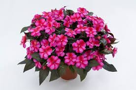 New Guinea Impatiens Hanging Basket