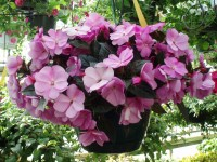 New Guinea Impatiens Outdoor Plants