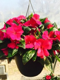 New Guinea Impatient Hanging Basket available during the months May-July
