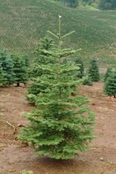 Noble Fir Christmas Tree Between 2' - 5'  feet tall