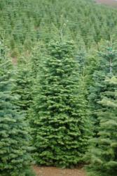 Noble Fir Christmas Tree Between 9' - 11'  feet tall