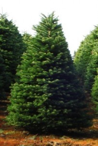 Fresh cut Noble fir and North man fir  Xmas tree (4'5'H')