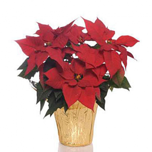 Noche Buena Poinsettia  in Vacaville, CA | The Red Anthurium