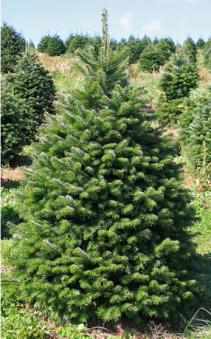 Nordmann Fir Christmas Tree Between 5' - 7'  feet tall