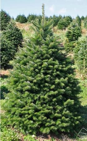 Nordmann Fir Christmas Tree Between 5' - 7' ...
